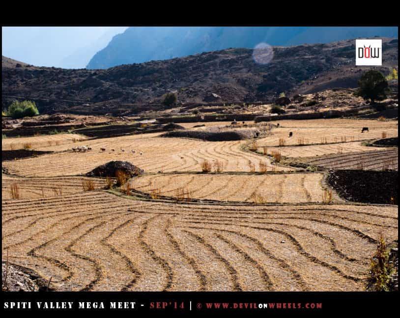 Farming fields at Maneyogma - Mane Village in Spiti