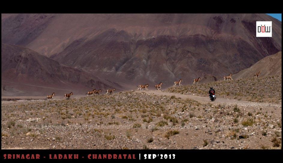 Riding through the herd of Kiangs in Inner Changthang - Ladakh