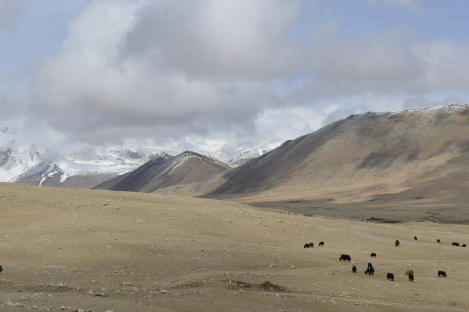 Yaks gazing the wilderness, Enroute Gurudongmar