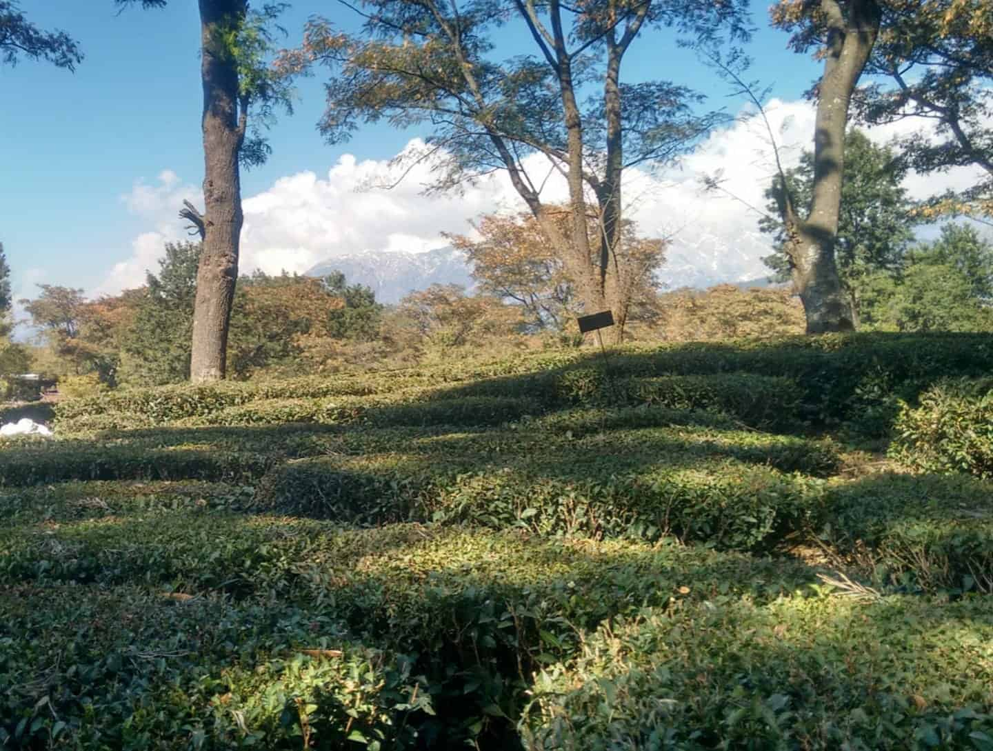 Tea Gardens of Palampur