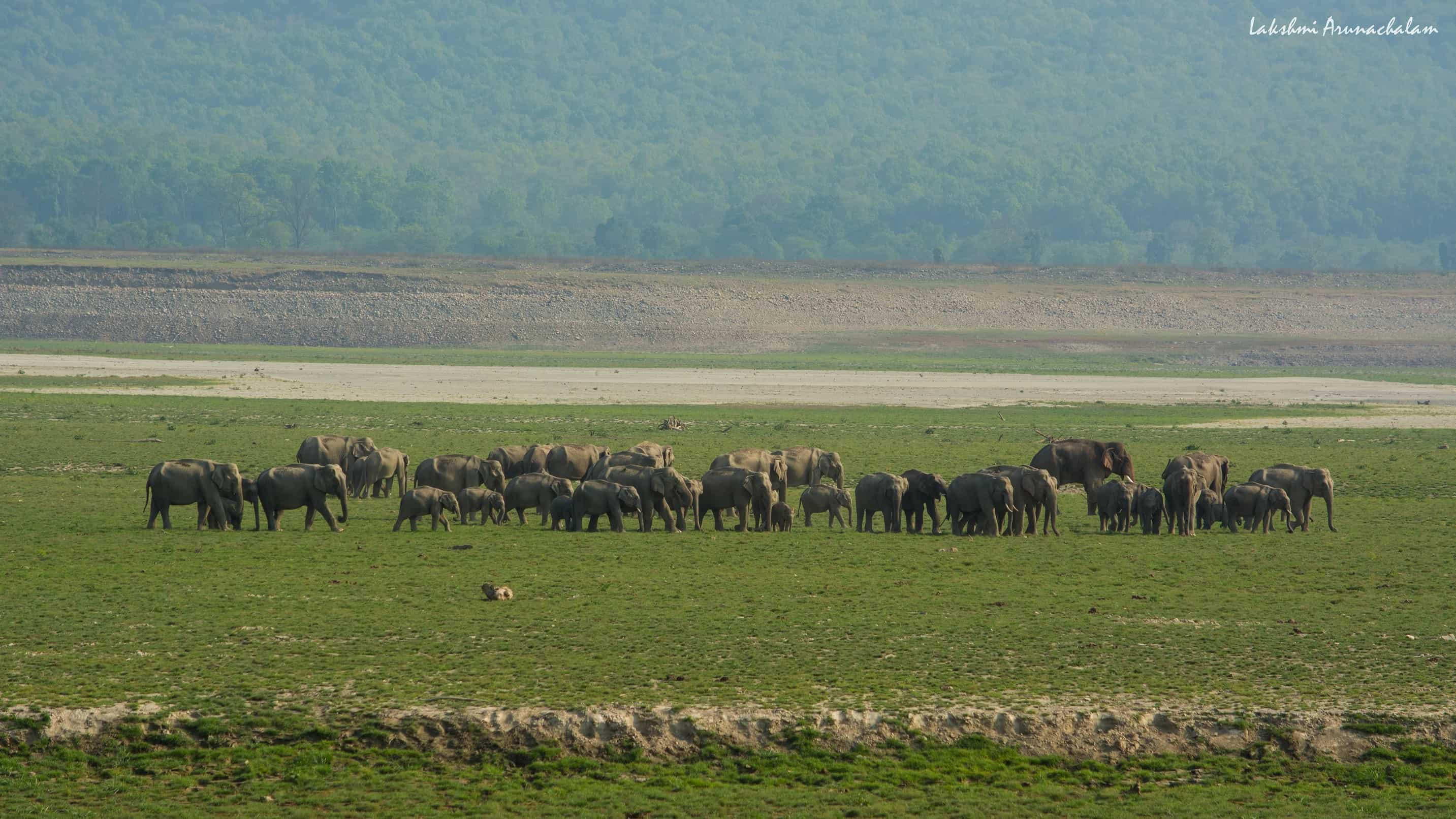 Herd of elephants, Dhikala