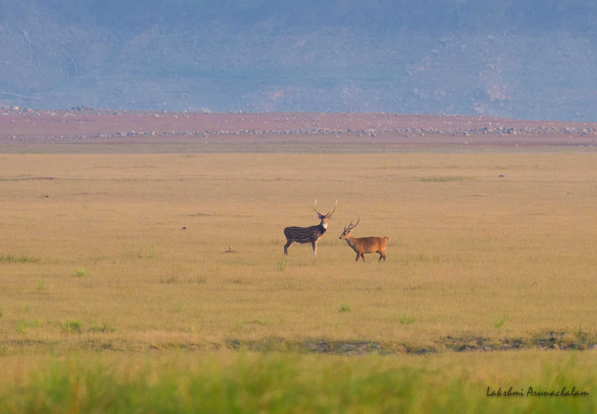 Deer-scape, Dhikala grasslands