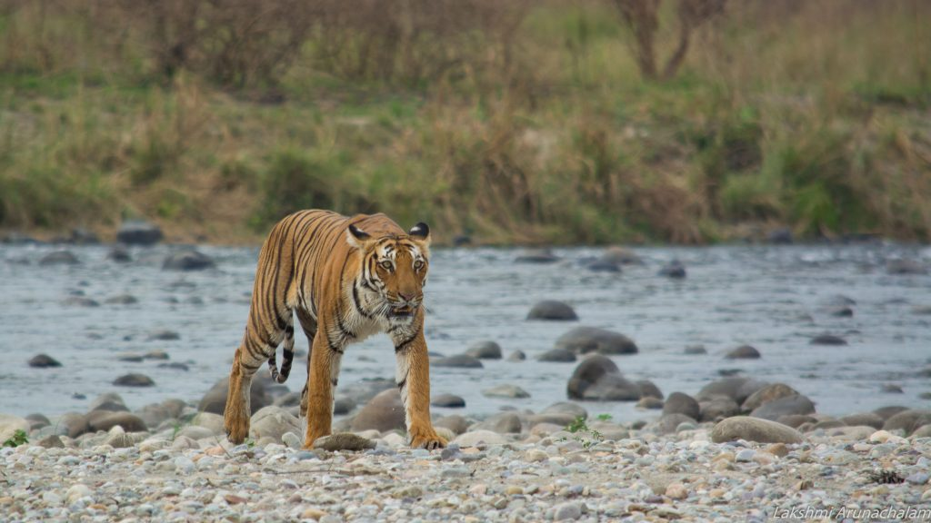 Tigress Parvaali crossing Ramganga River, Dhikala