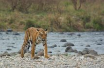 Want to spot Tigers at Jim Corbett National Park?