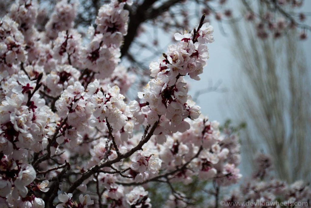Spring Flowers Blooming in Alchi Monastery