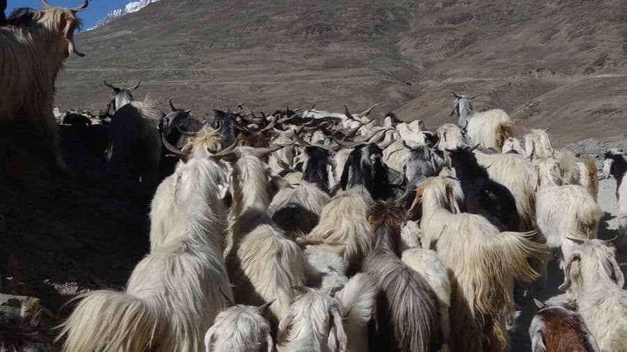Sights like these are common in villages of Spiti valley