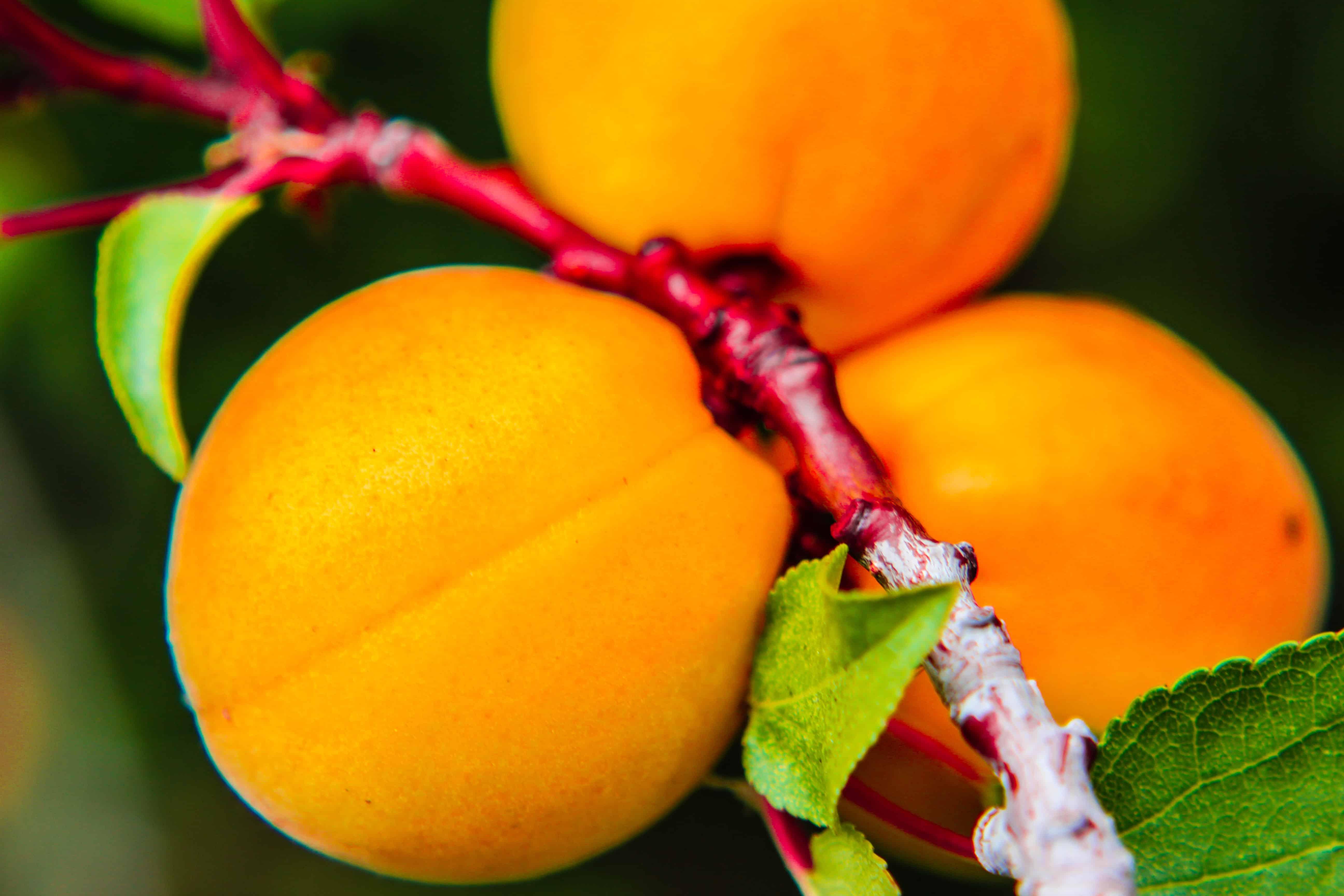 Apricots - all over Ladakh - Turtuk is famous