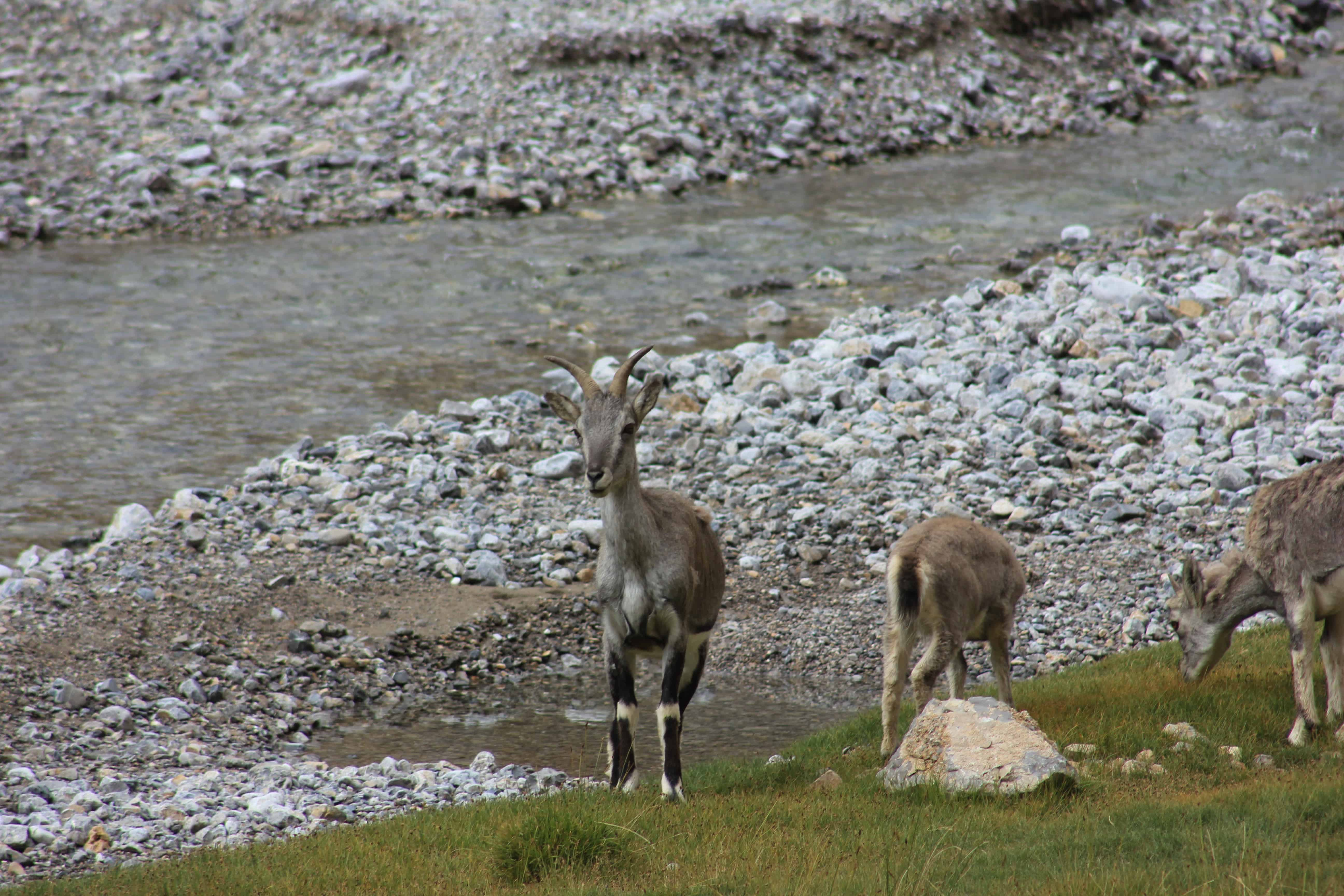 Ibex (Himalayan Blue Sheep) near Pang
