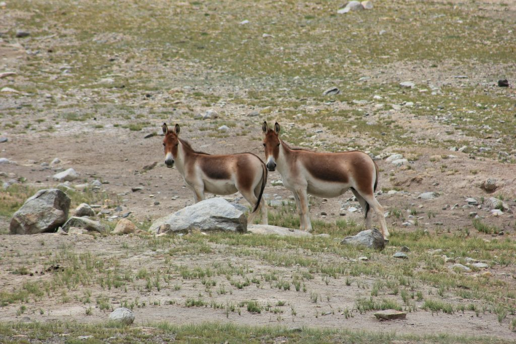 Kiangs - Ladakhi Wild Ass near Chushul
