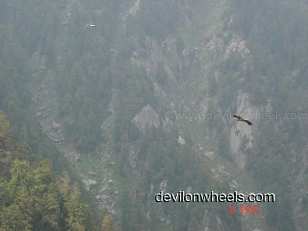 Eagle at Triund