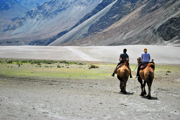 Double Humped Camel Ride in Hunder, Nubra Valley in Leh - Ladakh