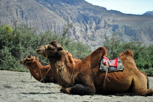 Double Humped Camels in Hunder, Nubra Valley in Leh - Ladakh
