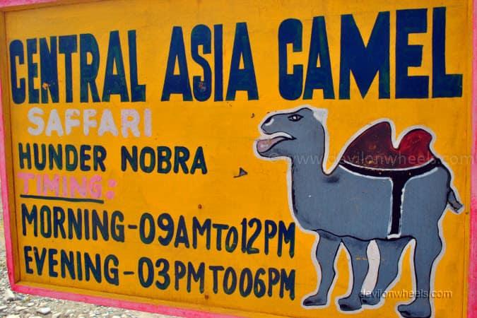 Double Humped Camel Ride in Hunder, Nubra Valley in Leh - Ladakh