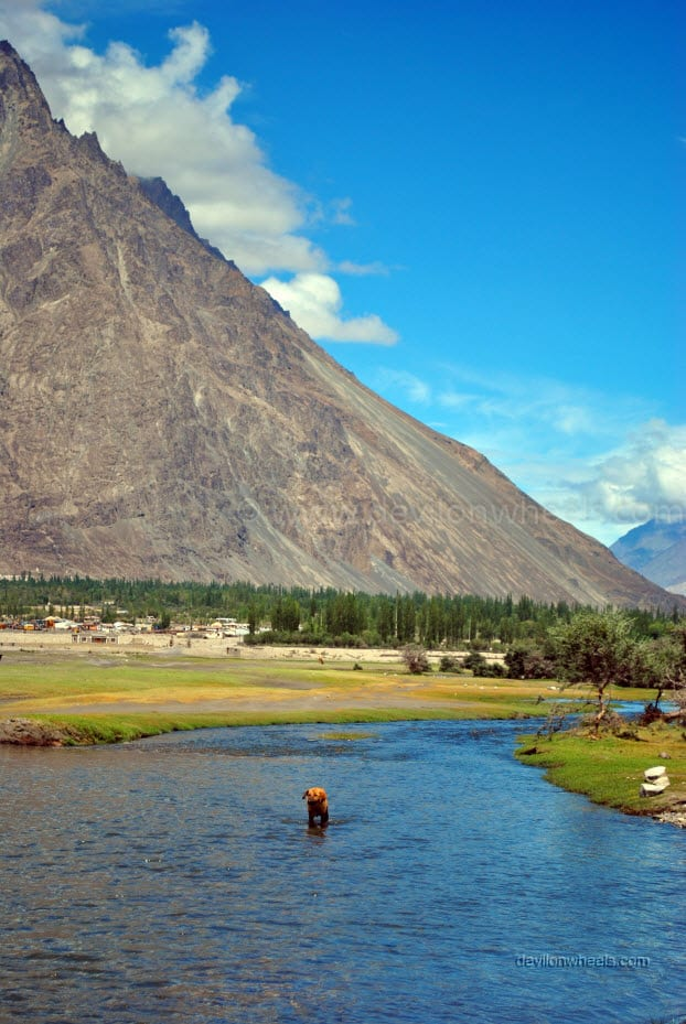 Ladakhi Dog in river stream at Hunder, Nubra Valley in Leh - Ladakh