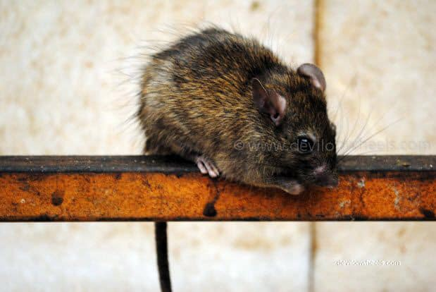 Rats in Karni Devi Temple at Deshnok, Bikaner