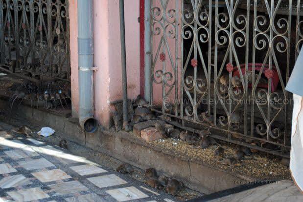 Rats in Karni Devi Temple at Deshnok, Bikaner