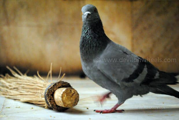 Pigeon in Karni Devi Temple at Deshnok, Bikaner