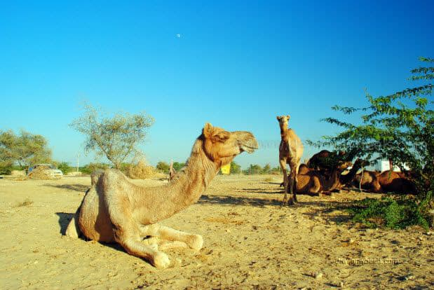 Camels on a road from Bikaner to Jaiselmer