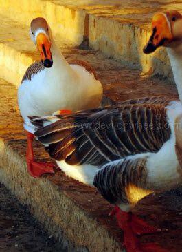Ducks at at Gadisar Lake, Jaiselmer