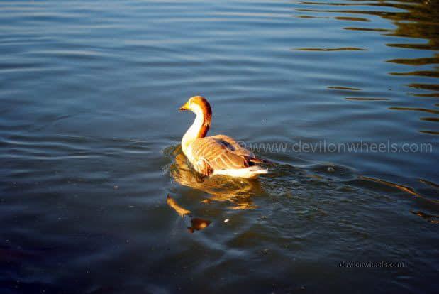 Duck at Gadisar Lake, Jaiselmer