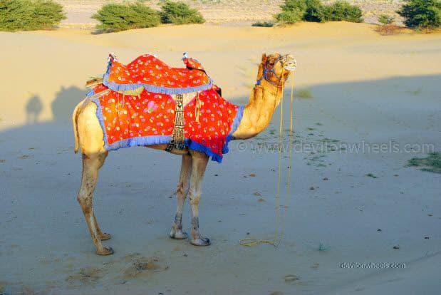 Camel in Sam Sand Dunes, Jaiselmer