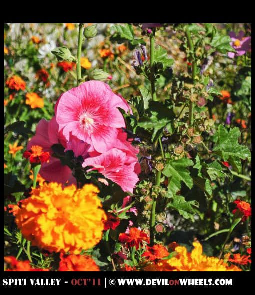 Flowers at Tabo Monastery at Tabo Village
