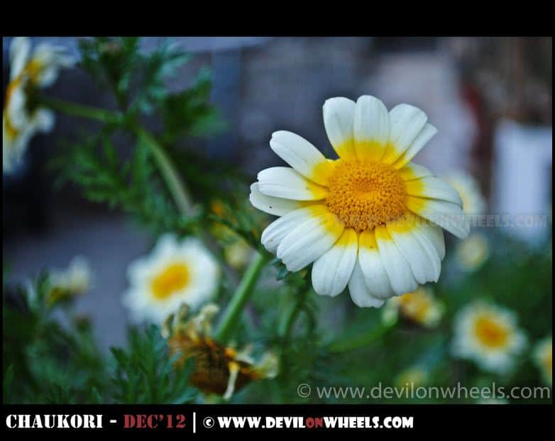 A Flower from Nainital