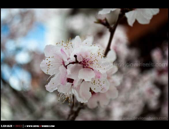 Blooming Apricot Flowers...