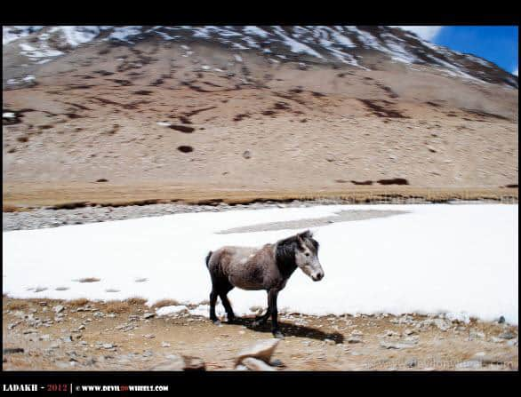 A Wild Horse of Changthang