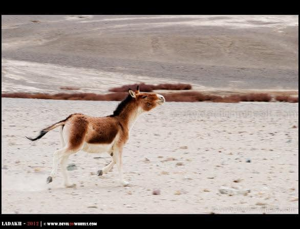 Shyness of Kiangs... The Tibetan Wild Asses...