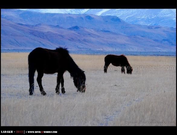 Grazing at Hanle... Horses of Changthang...