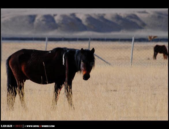 Handsome Horse at Hanle