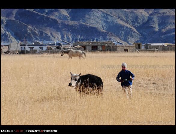 A Cattle at Hanle
