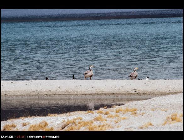 Migratory Birds at Pangong Tso