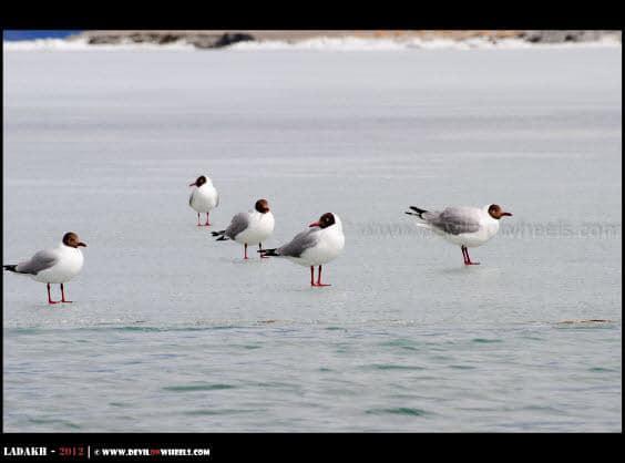 Seagulls at Pangong Tso