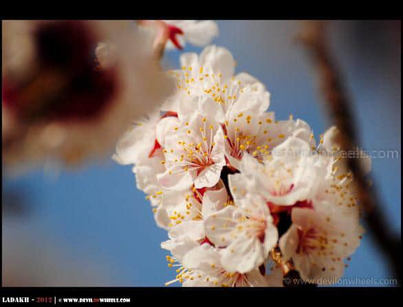 Blooming Beautifully... The Apricot Flowers at Hunder Village...