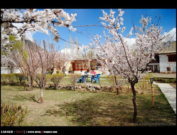 Himanshu and Tejas Amidst Apricot Trees at Hunder Village in Nubra Valley