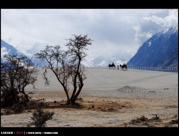 Ahh!! Double Humped Camel Safari