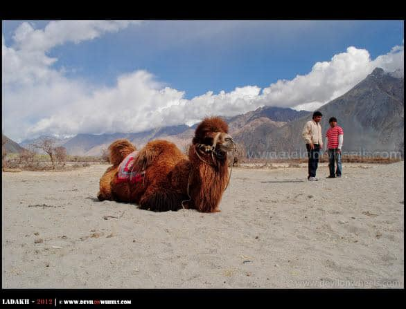 A Double Humped Camel and Dear Freinds Friends