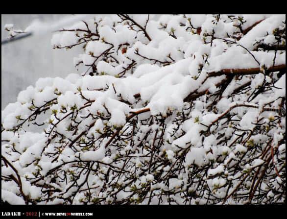 Snow Candy Over Trees in Leh