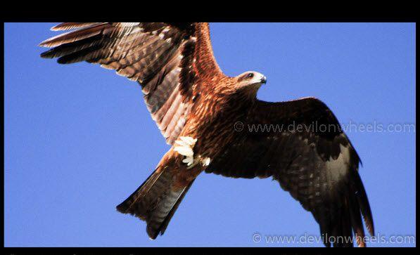 Eagles - Flying High at Sankoo Village in Suru Valley
