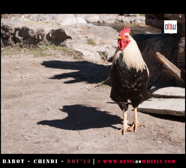 A Cock at Barot Village, Himachal