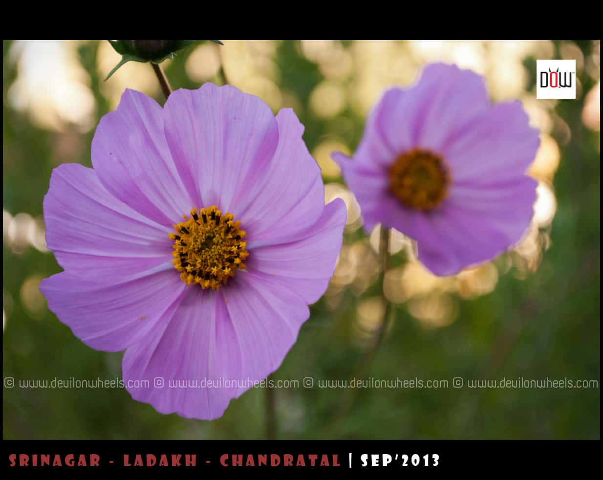 Beautiful Flowers from Leh - Ladakh