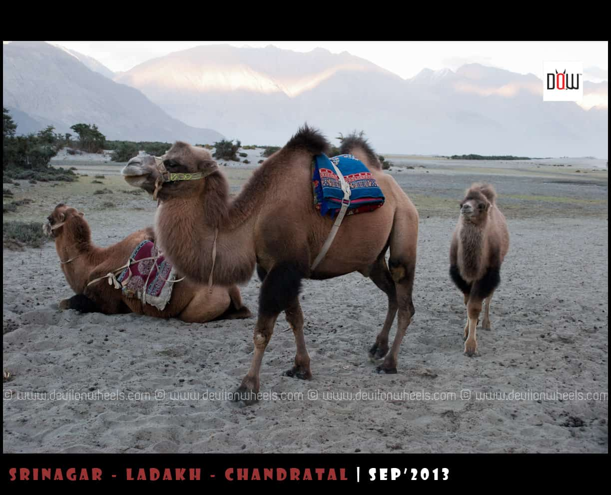 Double Humped Camels at Hunder, Nubra Valley