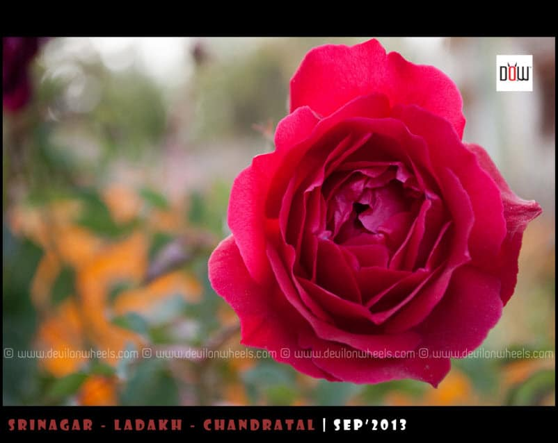 Flowers from Nubra Valley