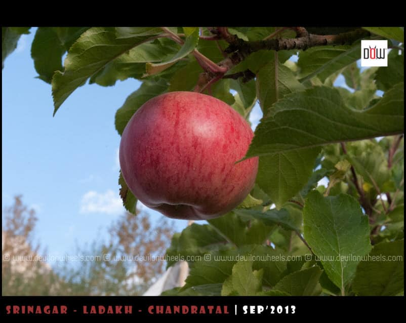 Apples from Nubra Valley