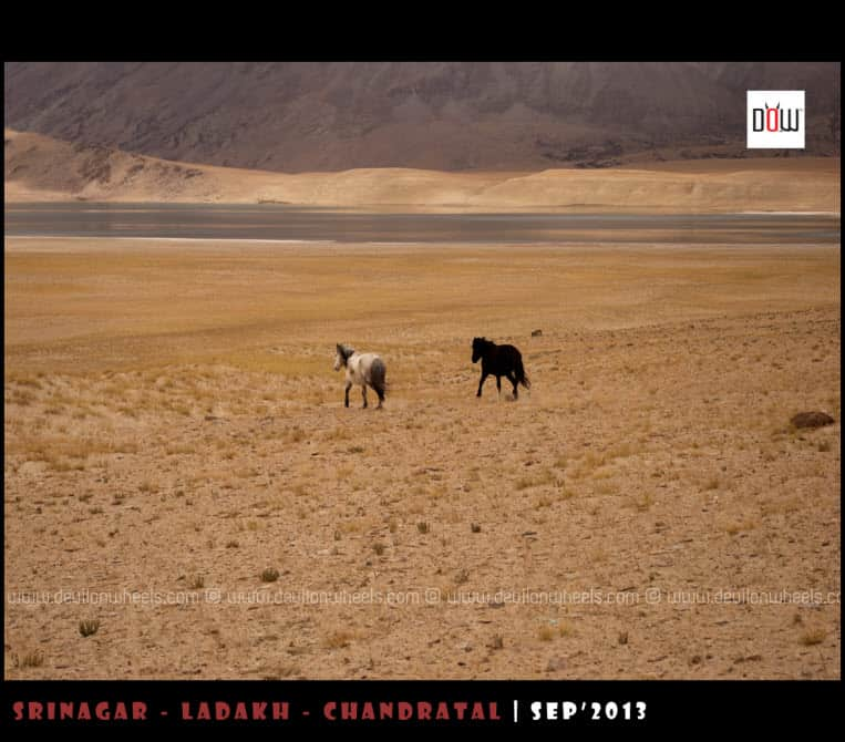 Horses running away from us at Kiagar Tso Lake