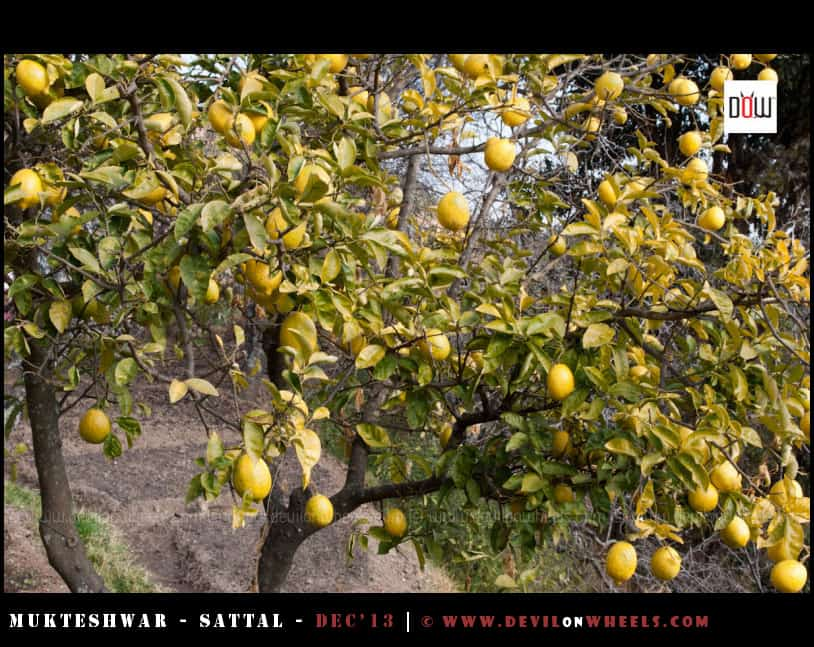 Lemon Tree on the way to Oak Chalet from Somerset