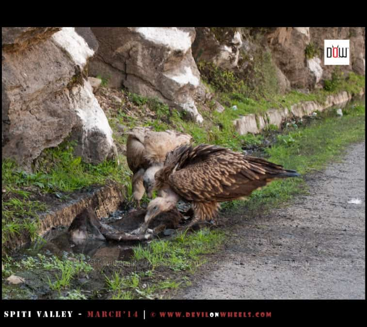 The Scavengers on NH-22 | Vultures having a treat