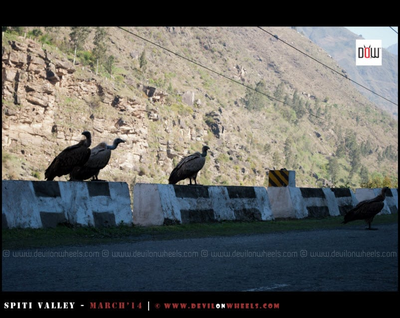The Scavengers on NH-22   Vultures having a treat